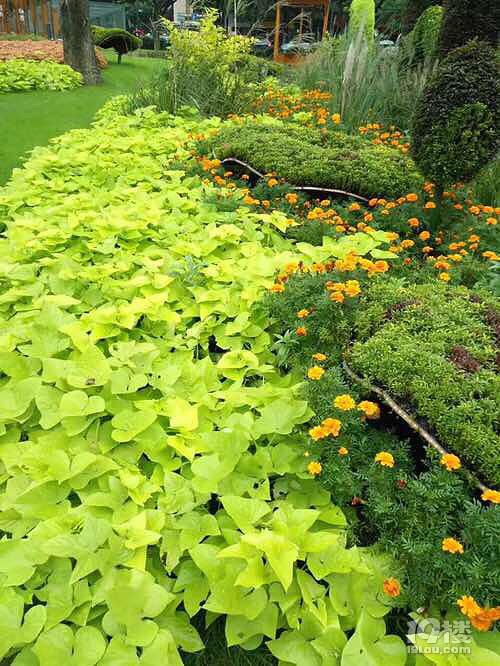 杭州体育场路的绿化隔离种上番薯 打过农药别去吃