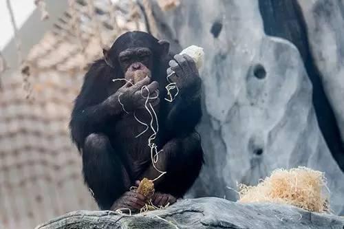 杭州动物园给动物们吃年夜饭 大熊猫吃的笋40元一斤(图)
