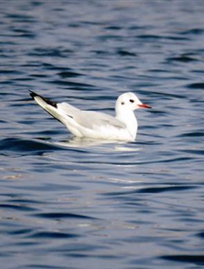 杭州西湖再现4只漂亮红嘴鸥