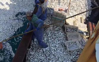 浙渔船2小时白捡9000余公斤黄鱼