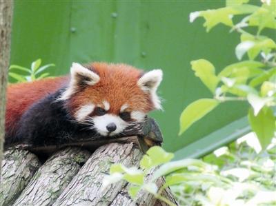 杭州动物园10只新小熊猫结束隔离检疫 萌萌亮相