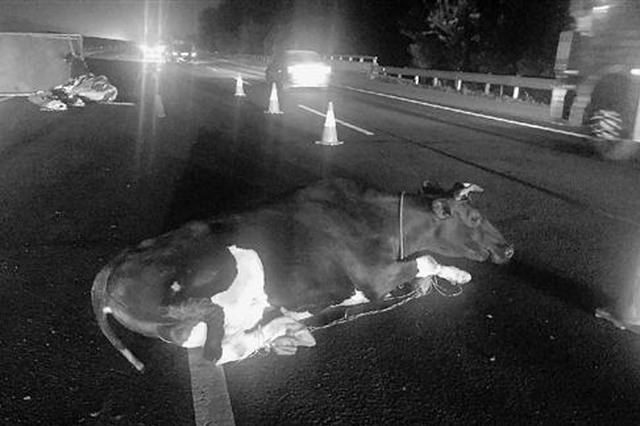 杭甬高速公路上一辆货车侧翻 两头奶牛掉落后受伤