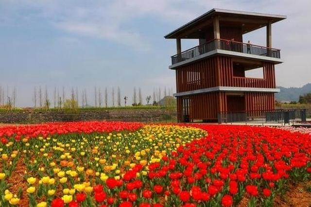杭州千岛湖也有了一个太子湾 25万株郁金香盛开