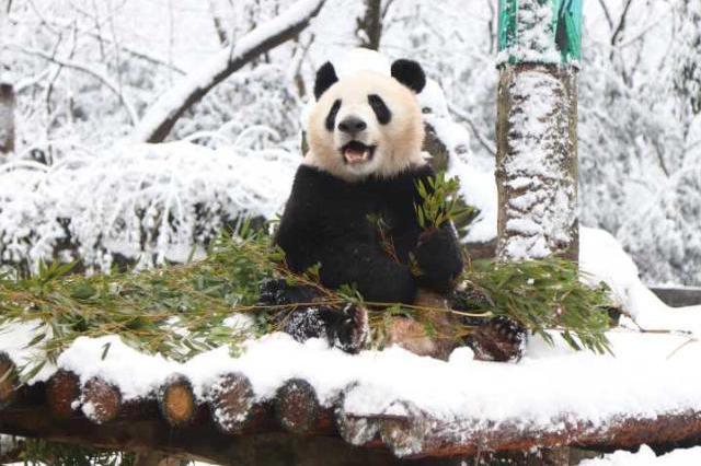 杭州大熊猫还处于病危状态 大熊猫弟弟捐血救哥哥