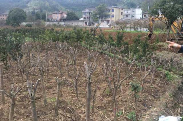 杭州临安红枫林变秃顶林 300多株枫树为啥消失
