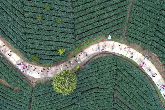 杭州数百市民徒步万亩茶园 畅游美丽乡村