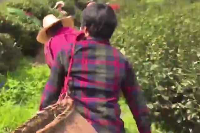 杭州龙井采茶工薪水高