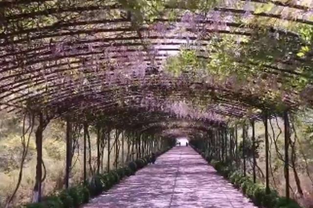 杭州城里的紫藤瀑布