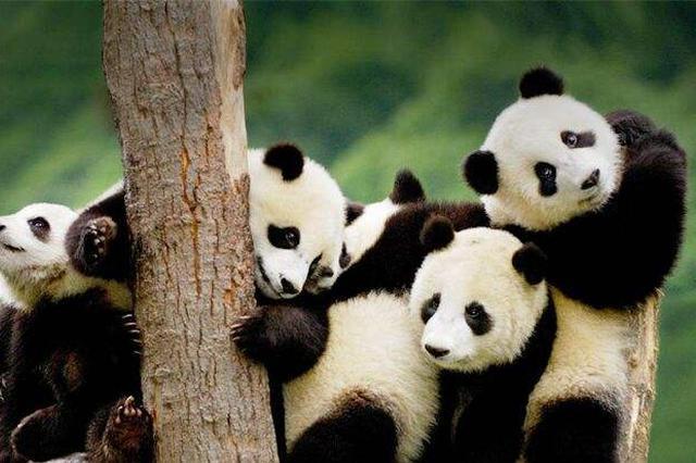 浙江设国家级大熊猫科研繁育中心 在2022前引进20只