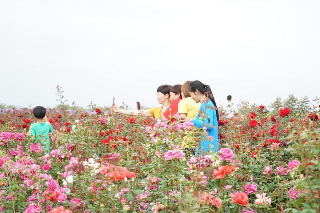 台州百亩玫瑰绽放 吸引游人观赏