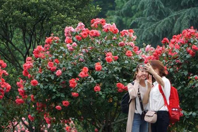 杭城最大的月季园盛花迎客 美景醉人