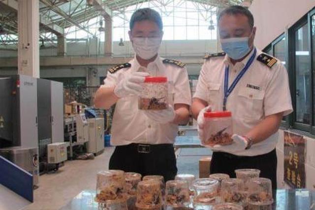 杭州海关连续截获43只活体甲虫 并且均雌雄配对(图)