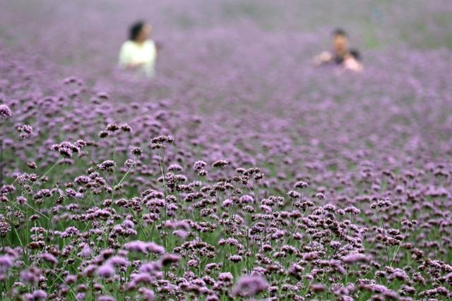 杭州出现一片紫色的花海 面积近5万平方米
