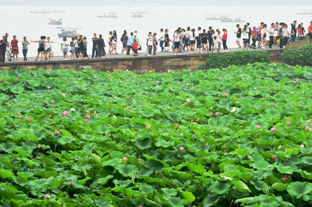 杭州梅雨暂歇 西湖荷花也适时竞相开放