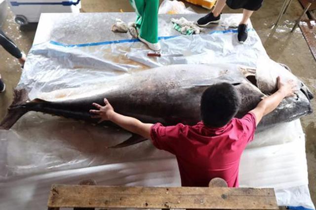 台州一吃货花20万买了条鱼 重达259公斤