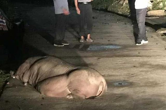 温州怀孕母猪横睡大马路 警察上门主人才知猪跑了
