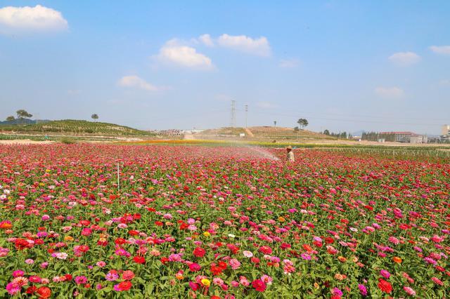 東陽幾百畝的向日葵和玫瑰花等相繼開放 美不勝收