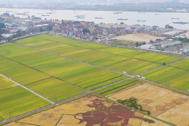 杭州渔山乡引入色块农业 彩色水稻绘牧归