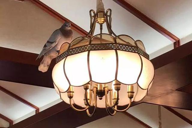 寧波1女子公司飛來一只信鴿 蹭吃蹭喝還隨地大小便