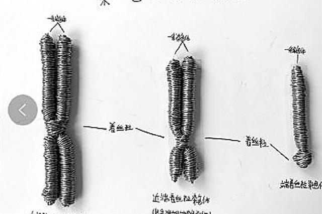 红豆做细胞图铁丝做染色体 浙老师的作业让人脑洞大开