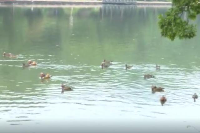 杭州西湖鸳鸯扎堆 相互追逐场面很是温馨
