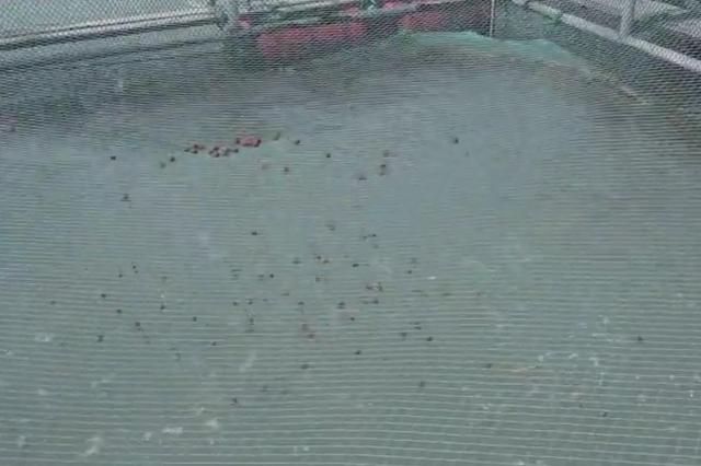 三门青蟹越冬养殖 海上放牧人花样真不少