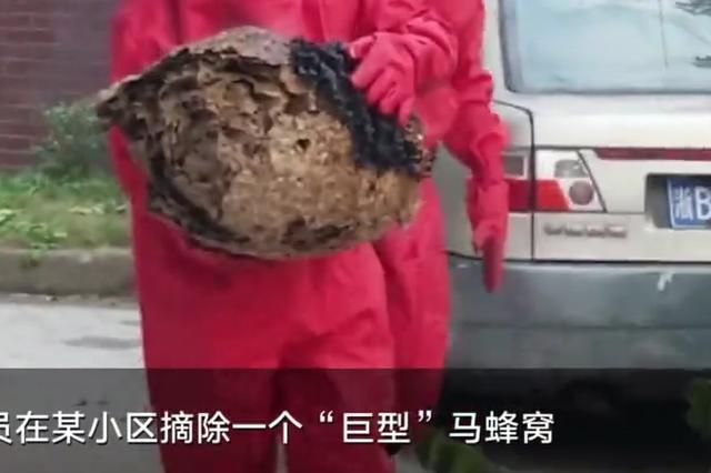 宁波小区惊现巨型马蜂窝 消防员火攻将其取下