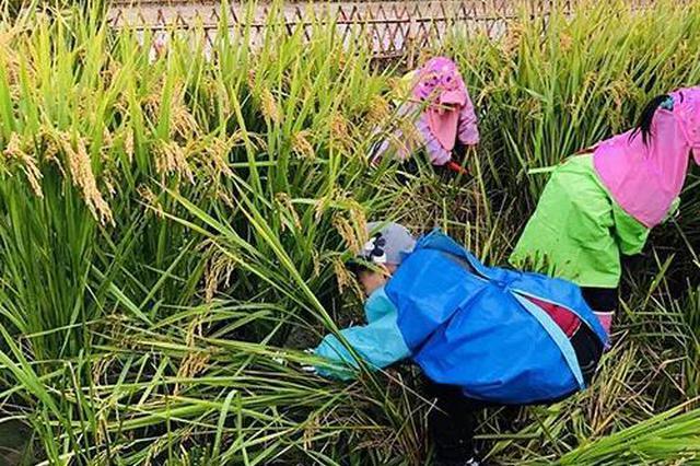 杭州1幼儿园带孩子割水稻 每人分两斤新米带回家