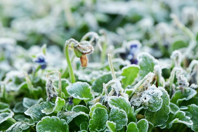 杭州西湖初霜 霜染花圃