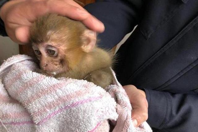 丽水小猕猴下山觅食落单 80后民警当起了临时奶爸