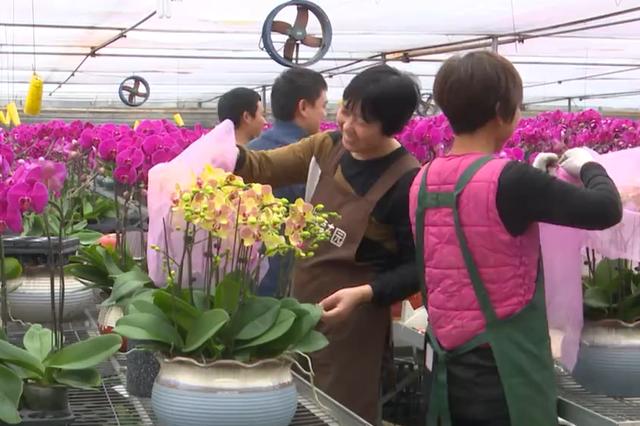 杭州花卉基地每天装箱发车 年宵花供应春节市场