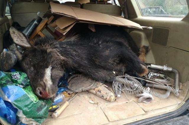 杭一断臂鬣羚惨遭割喉死亡 是国家二级保护野生动物