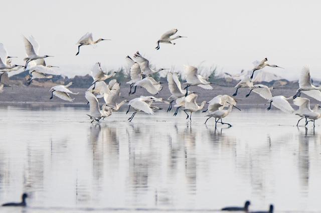 浙江玉环湿地迎来稀客 黑脸琵鹭飞临过冬