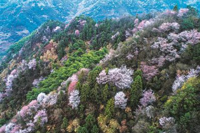 春天到杭州来看野樱花 这份赏花宝典请收好