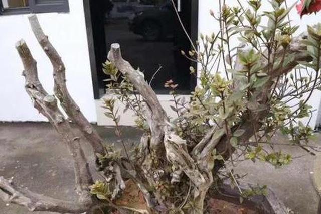 台州一公司老板开百万名车 偷一盆上百年的花被刑拘