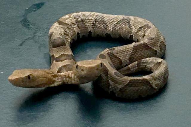 天气转热毒蛇出动 杭州1大姐采艾叶被被剧毒蝮蛇咬伤
