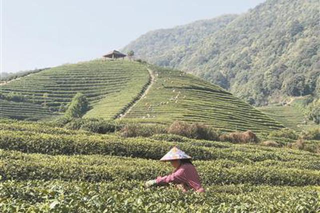 杭州龙坞西湖龙井茶开采 每公斤4000元到10000元不等