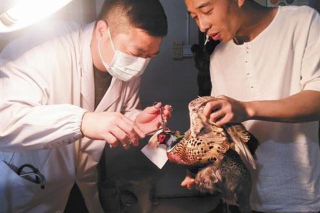 雉鸡受伤被好心村民送医 台州医生首次给鸡动手术