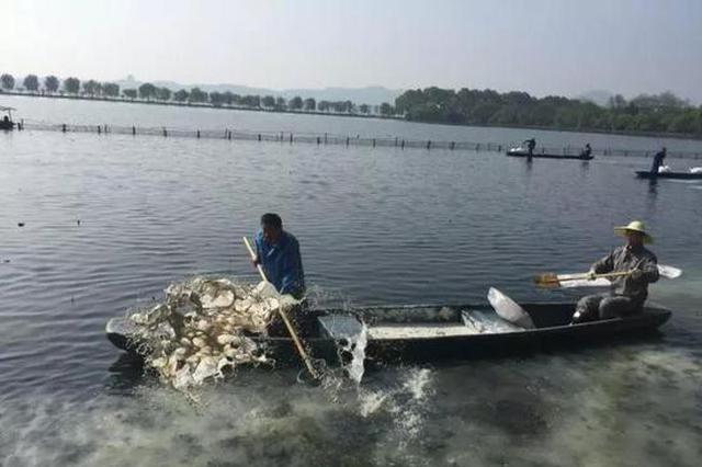 西湖荷区大扫除 给鱼儿挪窝确保荷花幼苗健康成长