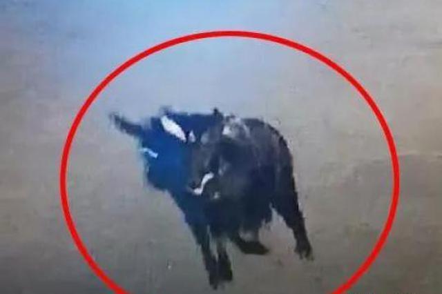 浙三门闹市区有鬣羚出没 闯入店里撞了柜台又砸茶几