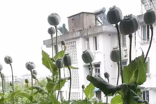 浙江吴兴多地违法种植罂粟 民警上门依法铲除