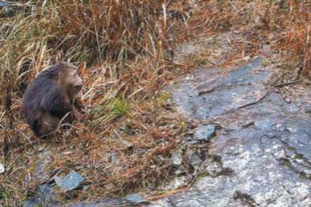 浙江江山拍到藏酋猴活动影像 系国家二级保护动物