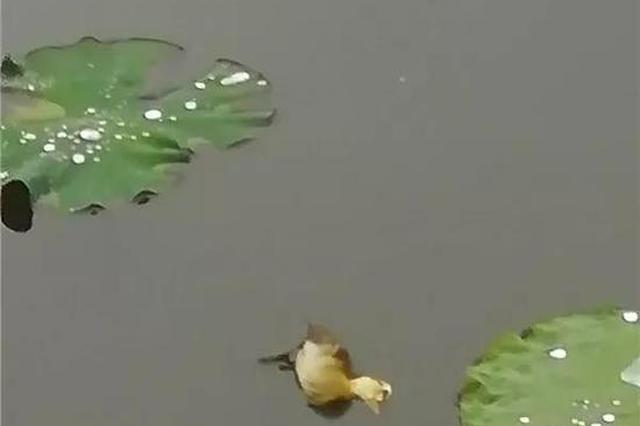 西湖的小鸳鸯快被野鸭子追杀 杭州大伯紧急求助(图)