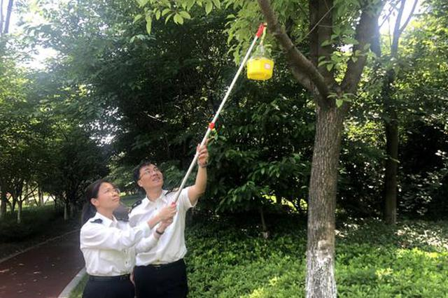 杭州西湖边的树上挂上黄灯笼 用于监测检疫性实蝇