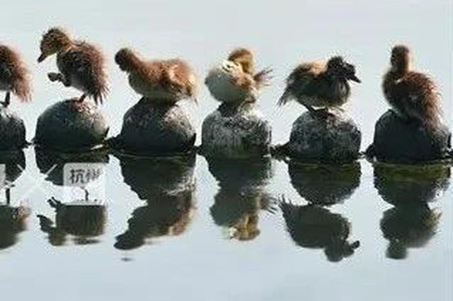 西湖今年出生71只鸳鸯死了18只 多数是被撑死的(图)