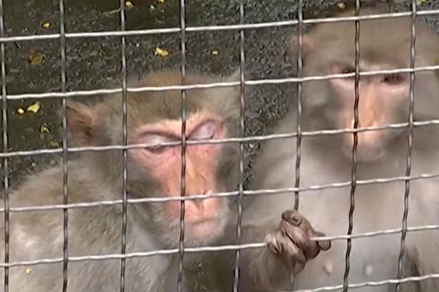 流窜20多个小时咬伤居民 越狱泼猴大闹绍兴城区