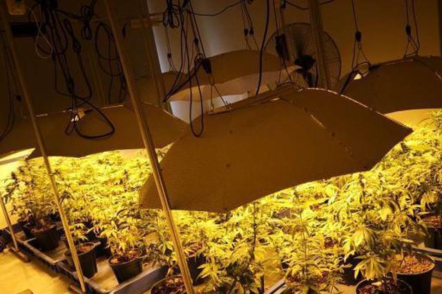 金华毒贩房间种满大麻被抓 现场景象奇特如热带雨林
