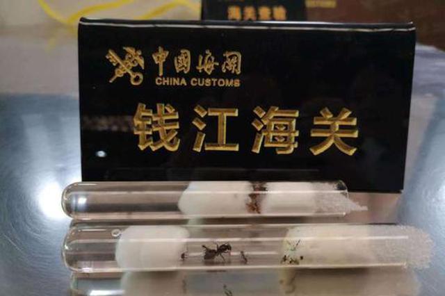 钱江海关全国首次截获橙布弓背蚁 杭异宠发烧友购买