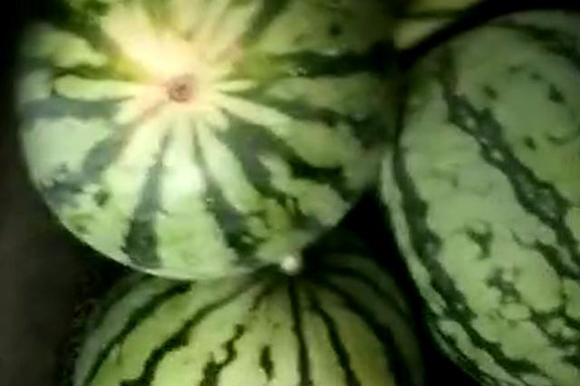 杭1采瓜大盗偷了12个西瓜 全部送给朋友自己一口没吃