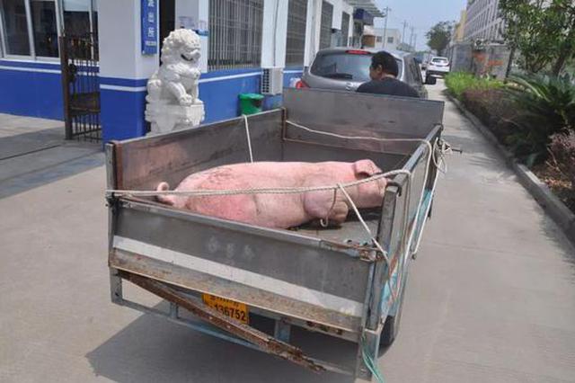 浙男子将越狱大肥猪扭送到派出所 蜀黍有点招架不住